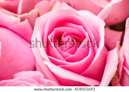 Soft focus of beautiful pink roses background. Close up of pink rose background. - stock photo