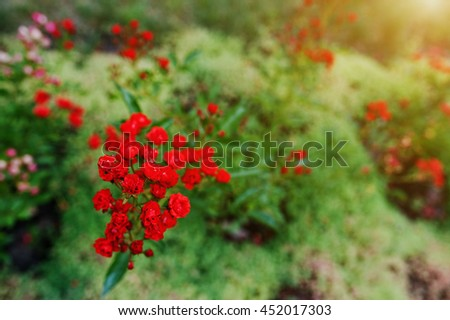 Soft focus of branch bloom small red roses - stock photo