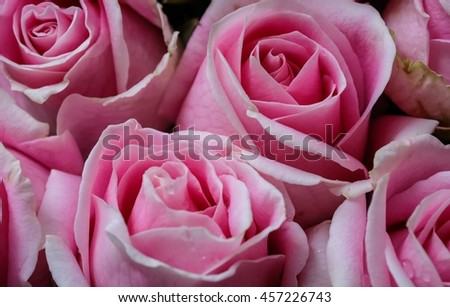 Soft focus of pink roses background, group of pink roses background. - stock photo
