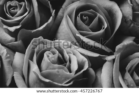 Soft focus of pink roses background, group of pink roses background. Black and white photo - stock photo