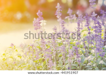 Soft focus of summer flowers, Lavender field. - stock photo