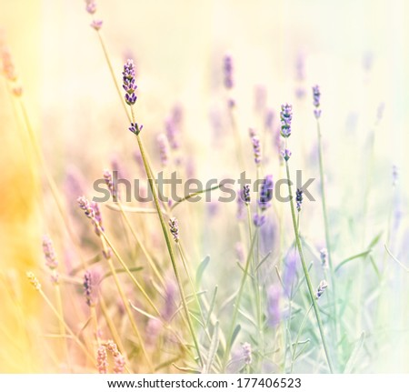 Soft focus on lavender - stock photo