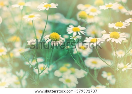 Soft focus on wild chamomile flower (daisy flower) - stock photo