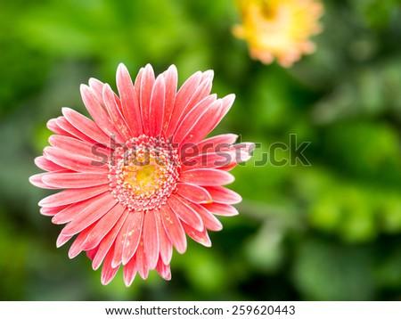 Soft focus photo gerbera flower - stock photo
