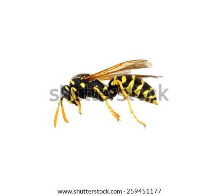 soft focus wasp isolated on white background - stock photo