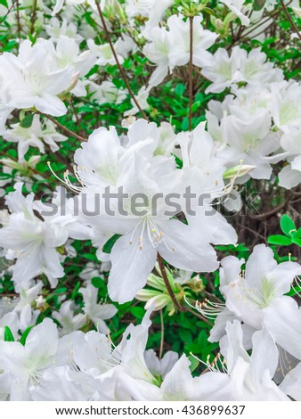Soft focus white flowers bloom in the garden - stock photo