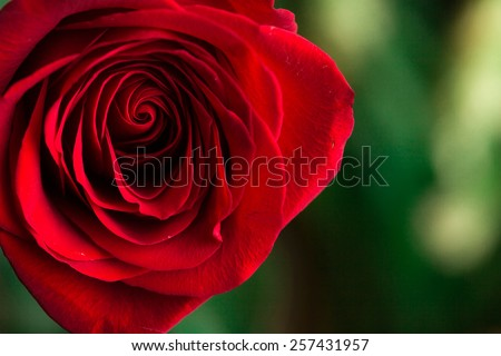 Soft natural light falling onto a velvet blood-red Valentine rose with a soft tear. Concept photograph for Valentines Day, Memorials and Weddings. - stock photo