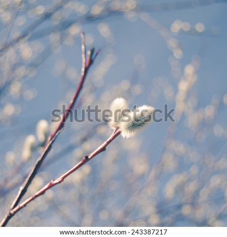 Soft Pastel Floral Pussy Willow Branches Against A Blue Sky - stock photo