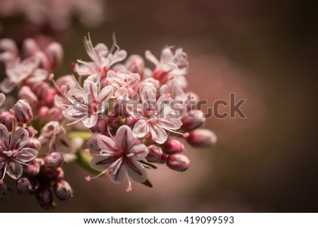 Soft pink colors from the wildflower plant the California buckwheat in the Mojave desert. - stock photo