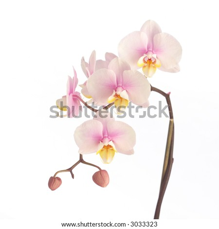 Soft pink orchid - stock photo