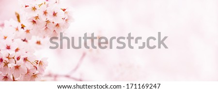 Soft spring cherry blossoms in full bloom on a warm spring day. Made in horizontal long dimension, for easy use in headers and title bars.  - stock photo