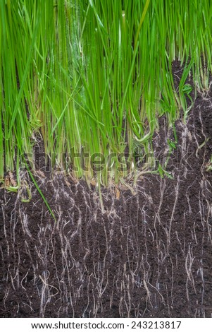 Soil with seeds and roots of fresh green grass - stock photo