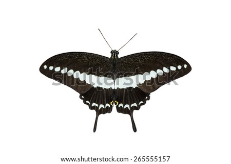 solated Banded swallowtail butterfly (Papilio demolion) with clipping path - stock photo