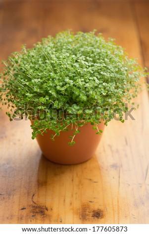 Soleirolia soleirolii (syn. Helxine soleirolii) or Baby's Tears plant in pot. - stock photo
