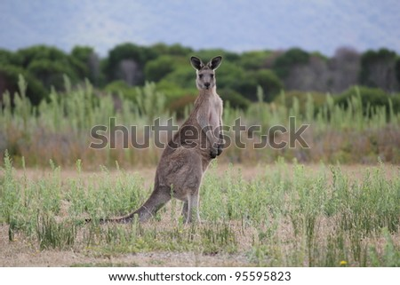 Solitary Eastern Grey Gray Kangaroo Macropus giganteus - stock photo