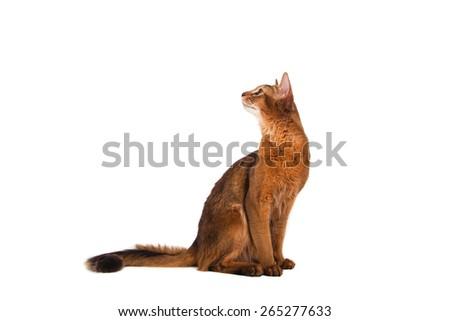 Somali cat on a white background. Cat sitting. - stock photo
