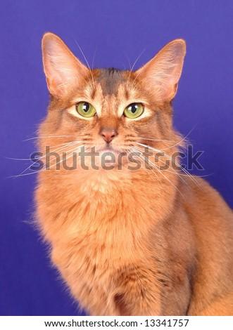Somali cat ruddy color portrait - stock photo