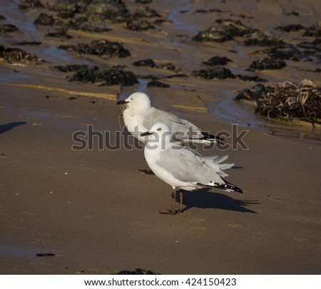 Some  beautiful seagulls, a seabirds of the Laridae family, standing  on the wet sand by the Indian Ocean, Bunbury, South Western Australia, on a fine, sunny late autumn  morning. - stock photo
