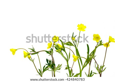 some buttercup against white - stock photo