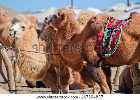 some camel in desert, Inner-Mongolia, China - stock photo