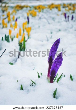 Some flower buds before blossom on the snow field in early spring. - stock photo