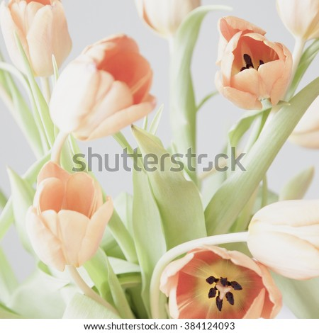 some fresh pale pink tulip flowers on grey background. selective focus. shallow depth of field - stock photo