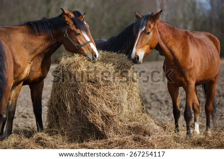 Some horses with their heads down eating hay - stock photo