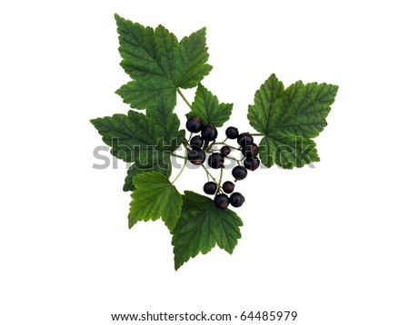 Some leaves and berries of black currant isolated on white - stock photo