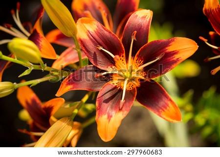 Some orange lilies in the garden in summer - stock photo