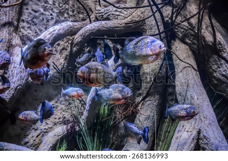 Some Orange Piranhas into the Hot Tropical Water - stock photo