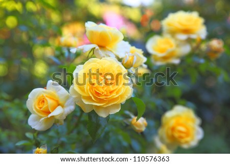 Some orange yellow roses in the garden - stock photo