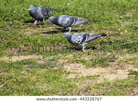 Some  pretty  grey  pigeons constituting  the bird clade Columbidae  stand on the ground in the park looking  for tasty seeds to eat on a fine morning in early winter. - stock photo
