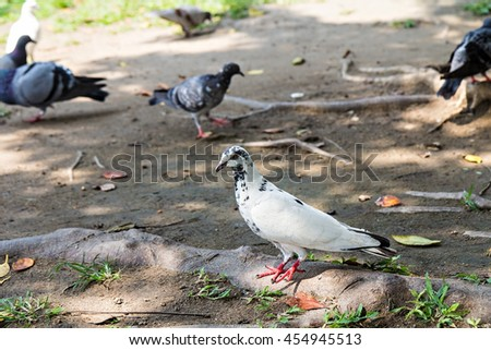 Some pretty pigeons stand on the ground in the park looking for tasty seeds to eat - stock photo