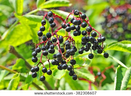 Some ripe elderberry on branch against the leaves - stock photo