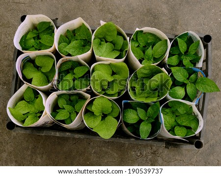 some seedlings rolled up with old newspaper pages for transportation in plastic box top view - stock photo