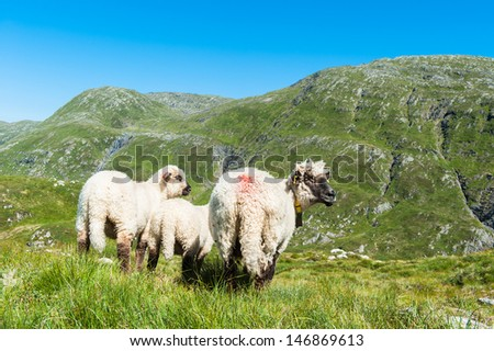 Some sheep on top of a mountain in Norway at summer - stock photo