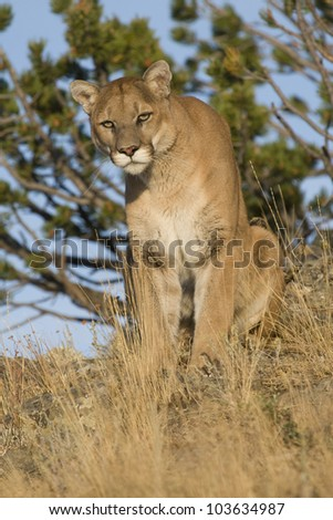 Something Catches This Cougar's Eye - stock photo