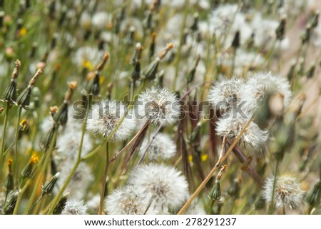 Sonchus, hare-thistle,  seedheads natural floral background - stock photo