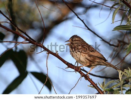Song Sparrow - stock photo