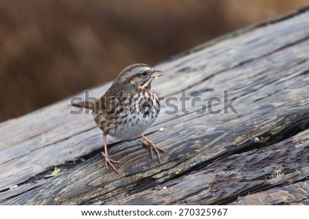 song sparrow close up shot in vancouver Canada  - stock photo