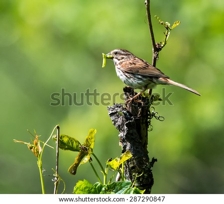 Song Sparrow with Prey on Green Background - stock photo