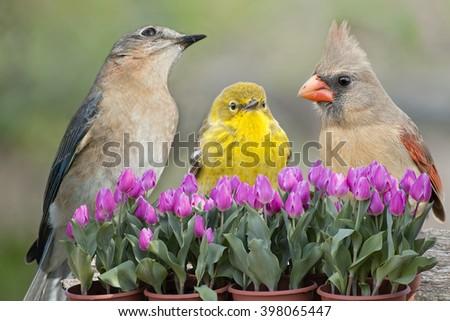 Songbird Trio in Tulip Garden - stock photo