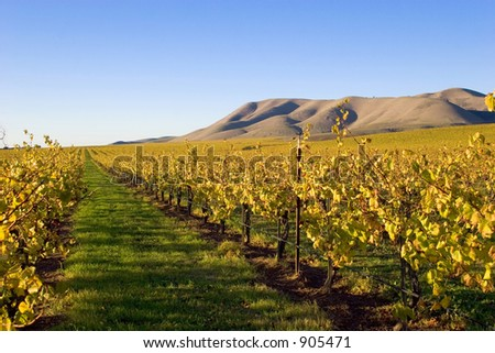 Soon after the harvest of grapes and the season cools, the grape vines change to the yellows and golds of autumn. - stock photo