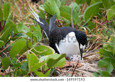 Sooty Tern (Sterna fuscata) with hatching egg at colony at Ned's Beach on Lord Howe Island - stock photo