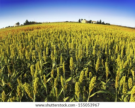 sorghum field  - stock photo