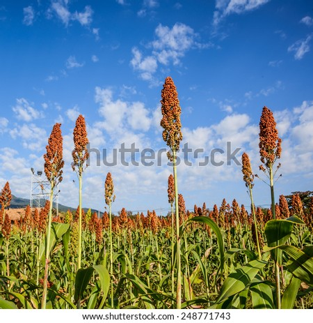Sorghum field on blue sky background - stock photo