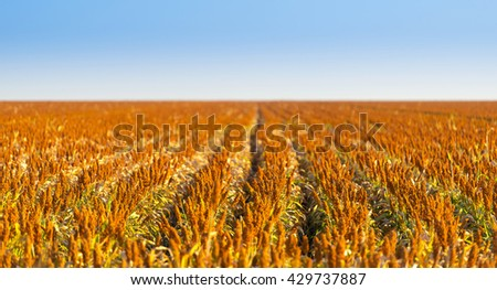 Sorghum grains growing in endless fields ready for harvest - stock photo