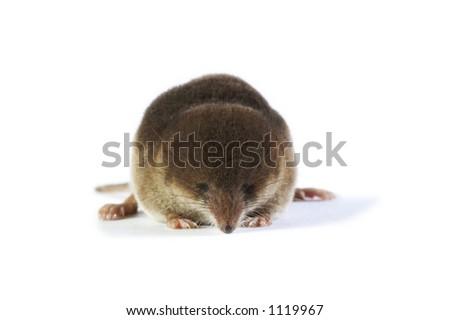 Soricidae - stock photo