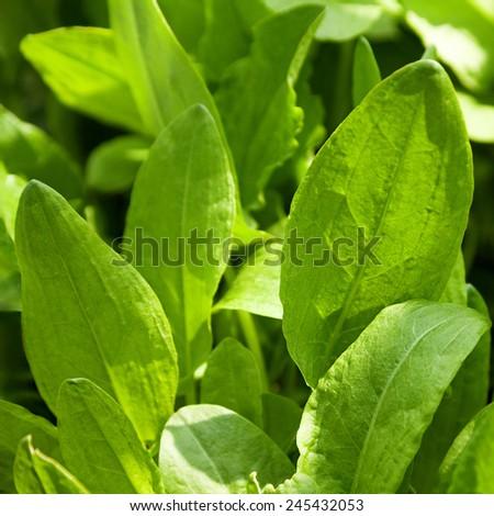 Sorrel herb closeup in garden closeup - stock photo