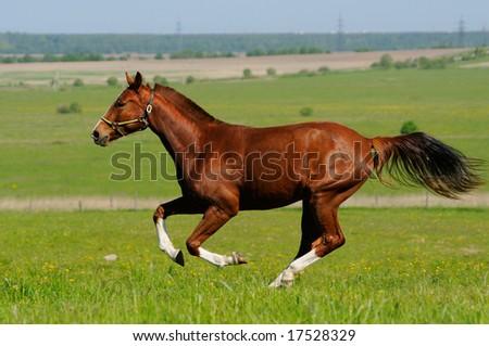 Sorrel horse gallops in field - stock photo